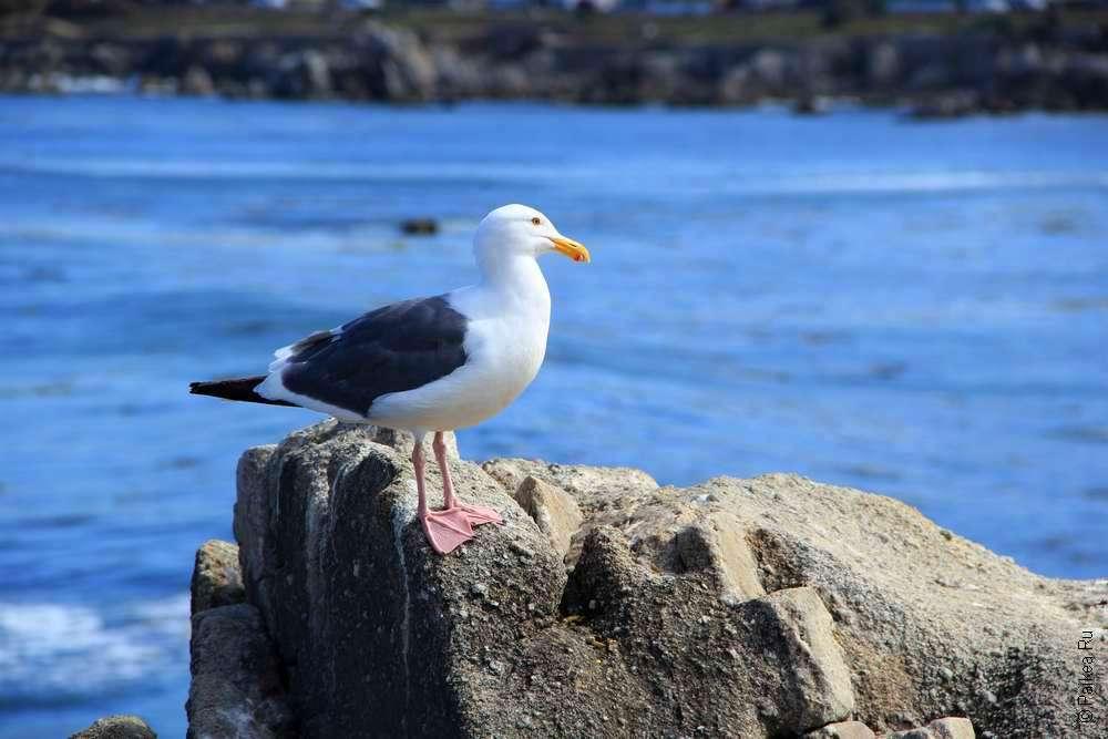 Чайка сидит на камне