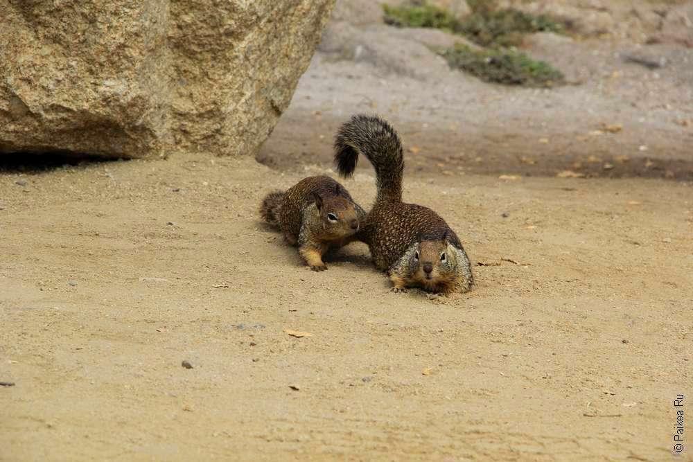 Белки бегают на песке в Монтерее