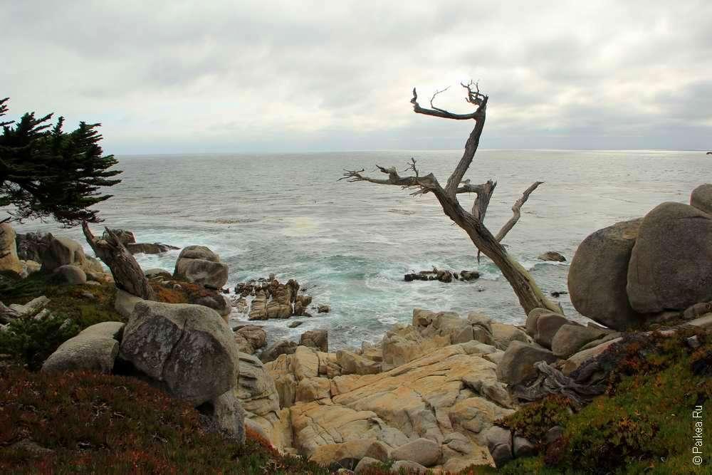 кипарис на берегу океана