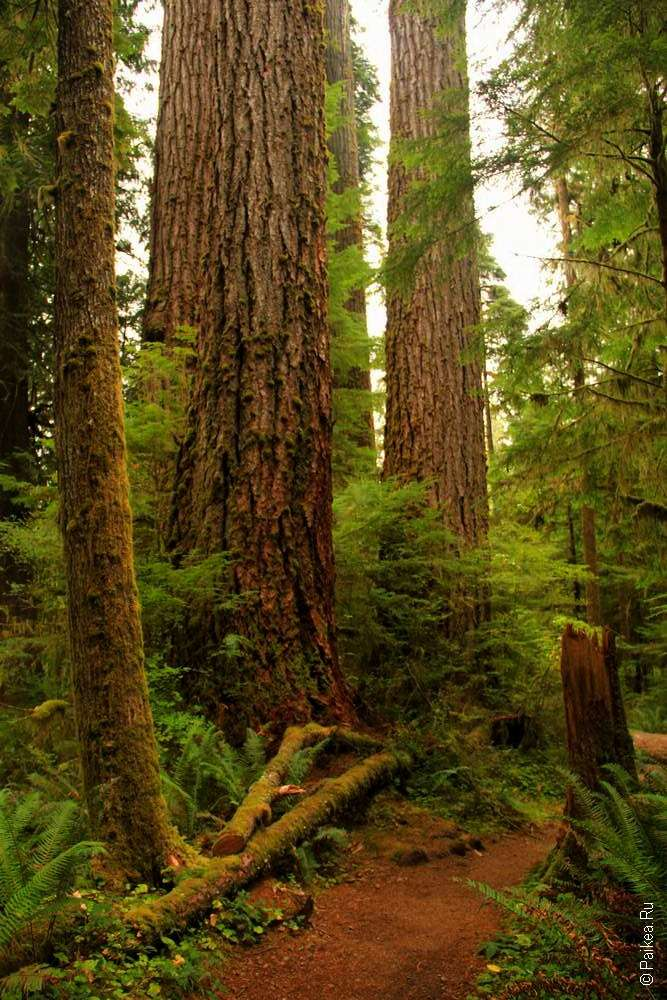 Деревья в лесной чаще нацпарка Олимпик