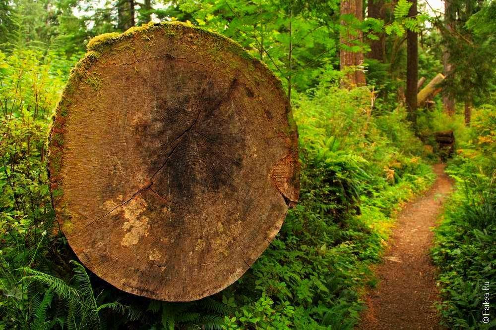 широкий спил ствола дерева