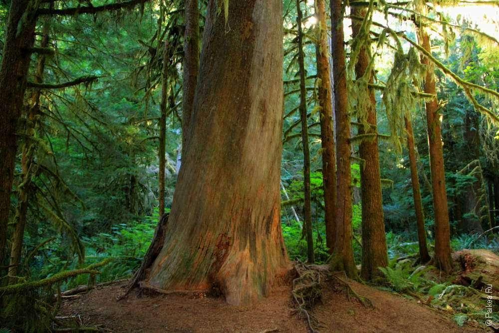 Толстое дерево в лесу