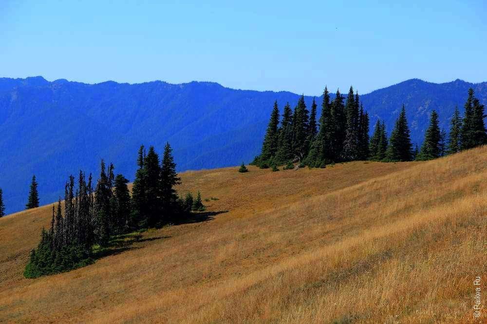 Ели на фоне голубых гор