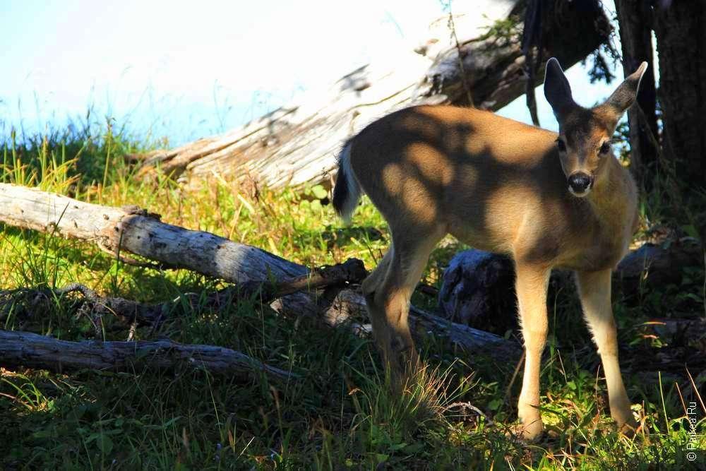 Дикий олененок в горах штата Вашингтон