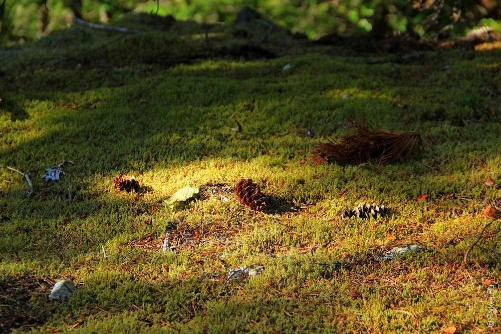 Листья и шишки на мху в лесу штата Вашингтон