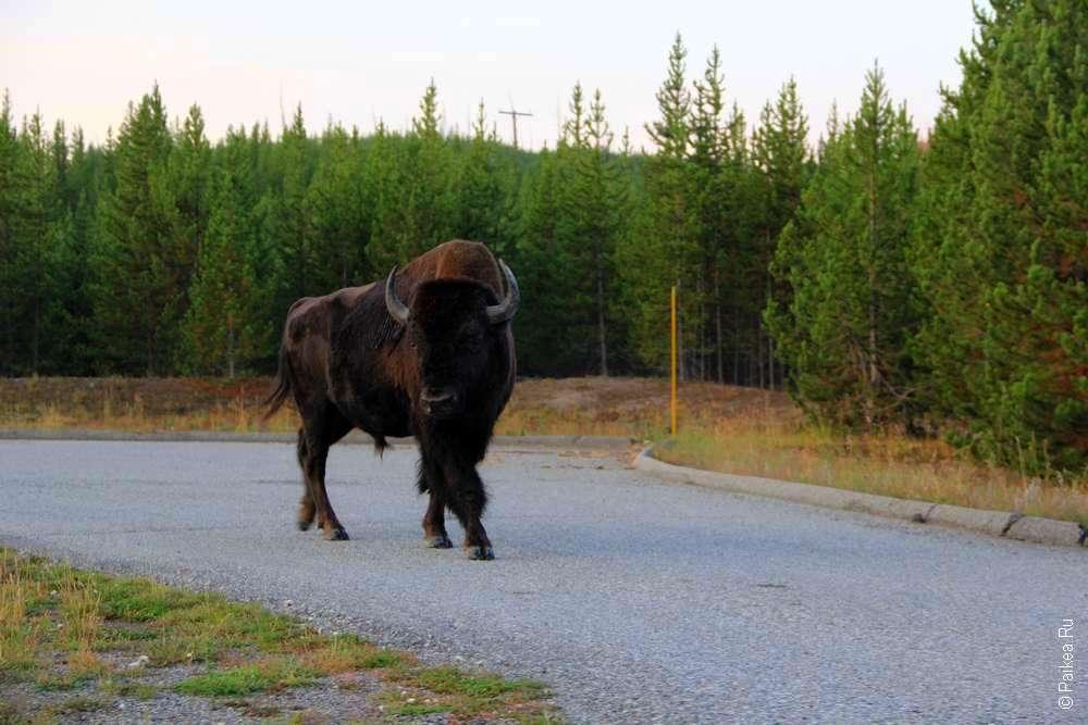 Дикий бизон бродит в парке Йеллоустоун