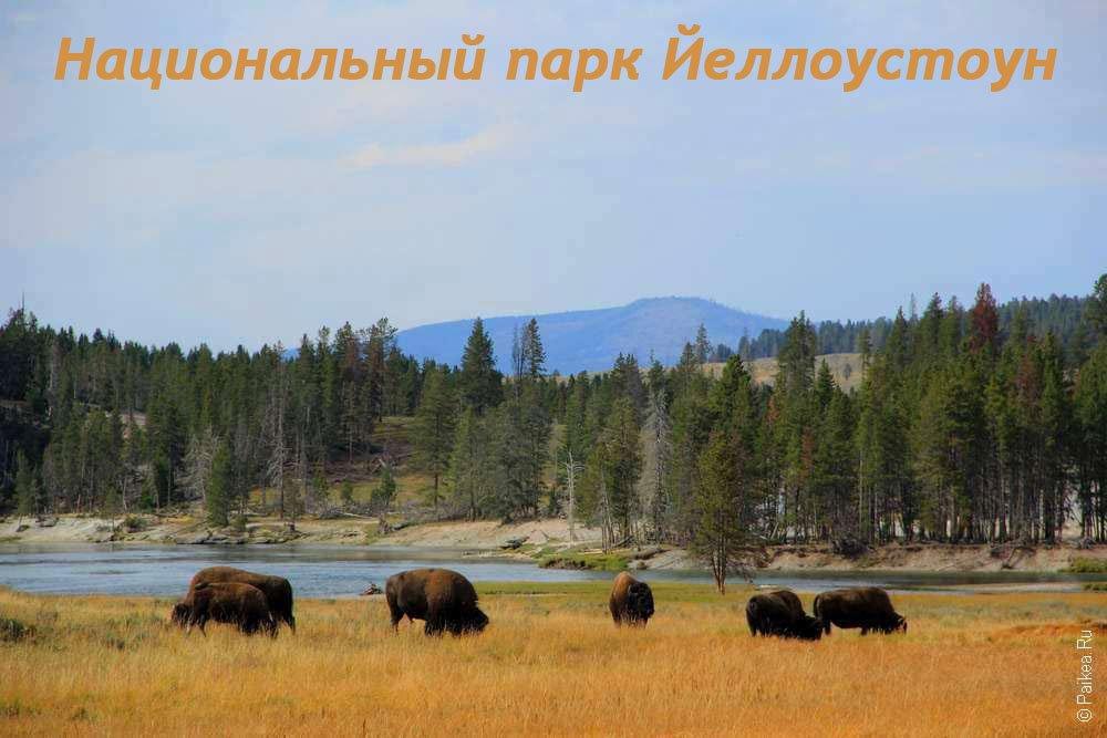Бизоны в парке Йеллоустоун, США