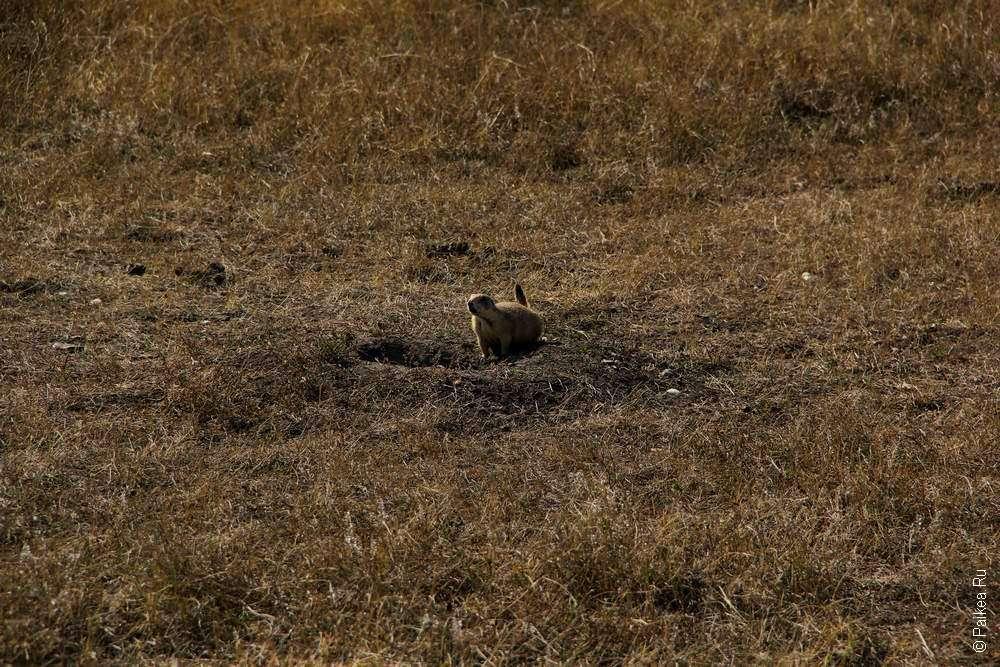 Луговая собачка в прериях