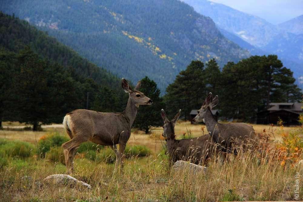 три оленя в сша