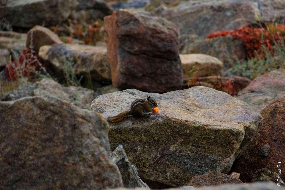 бурундук на камне