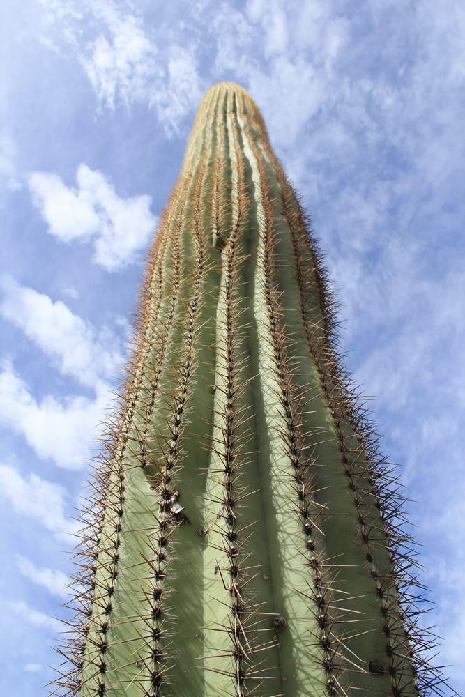 орган Пайп Кактус, Аризона, США (Organ Pipe Cactus, USA)