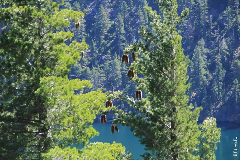 шишки висят на дереве
