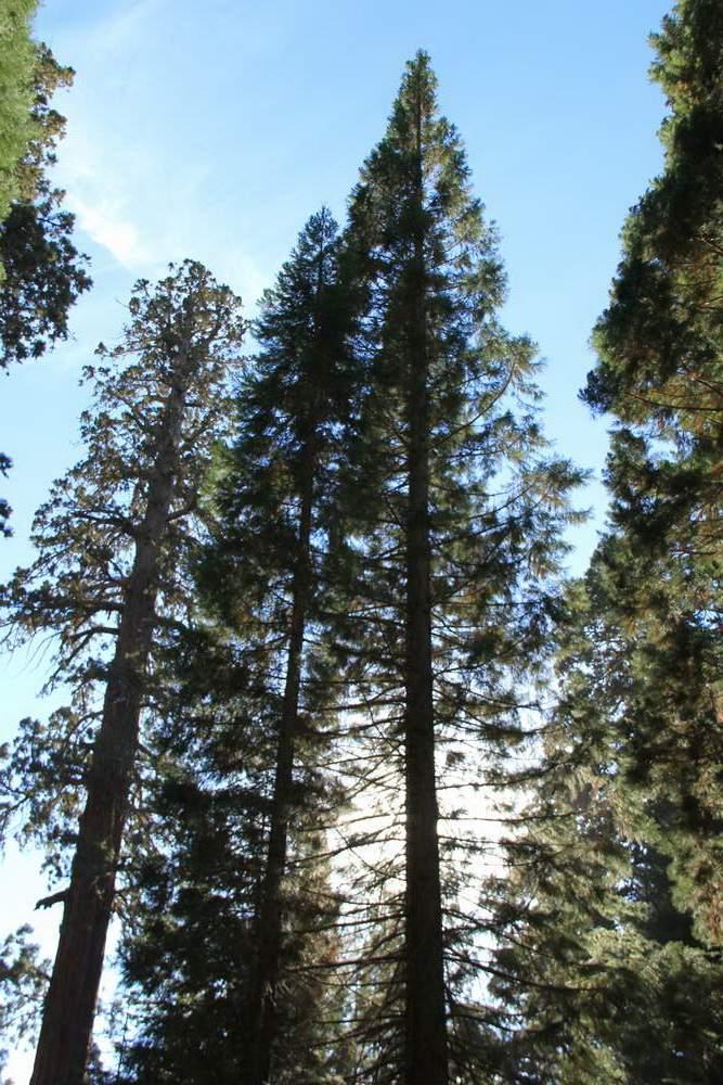 Секвойя нацпарк, США (Sequoia national park, USA)