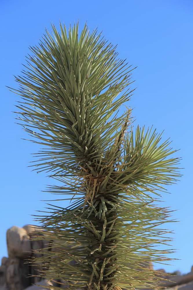 Джошуа три, США (Joshua tree, USA)