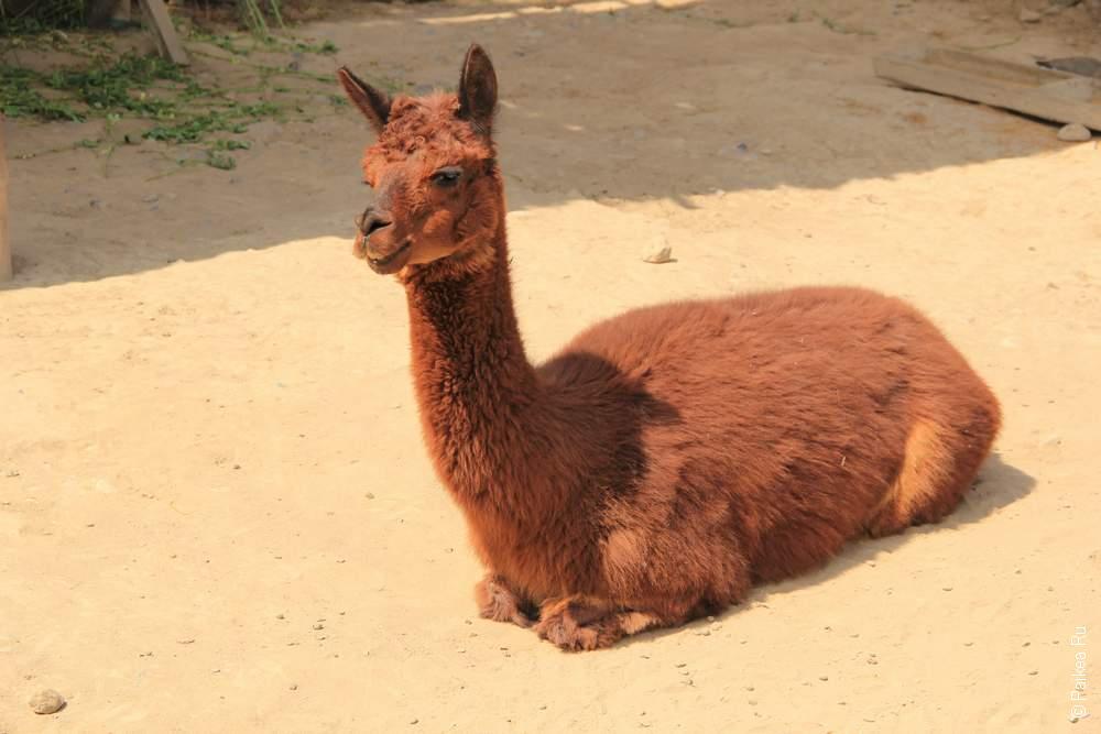 Лама - вечный спутник всех жителей Перу