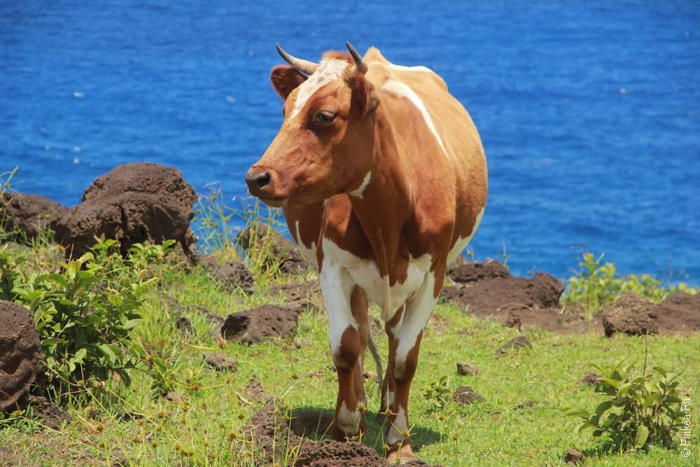корова на Остров Пасхи (Easter Island)