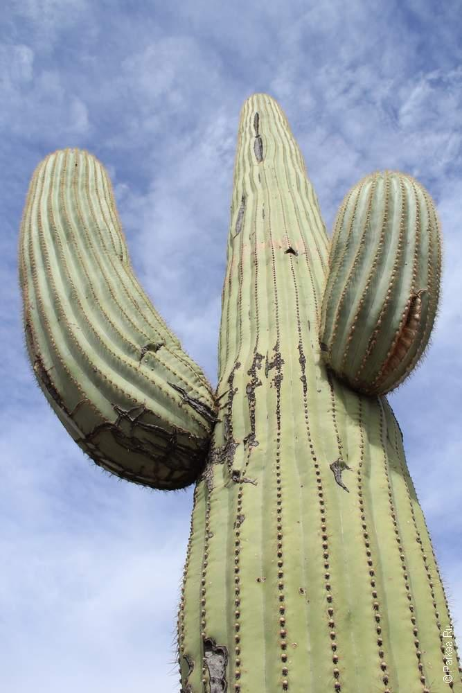 Это кактус сагуаро