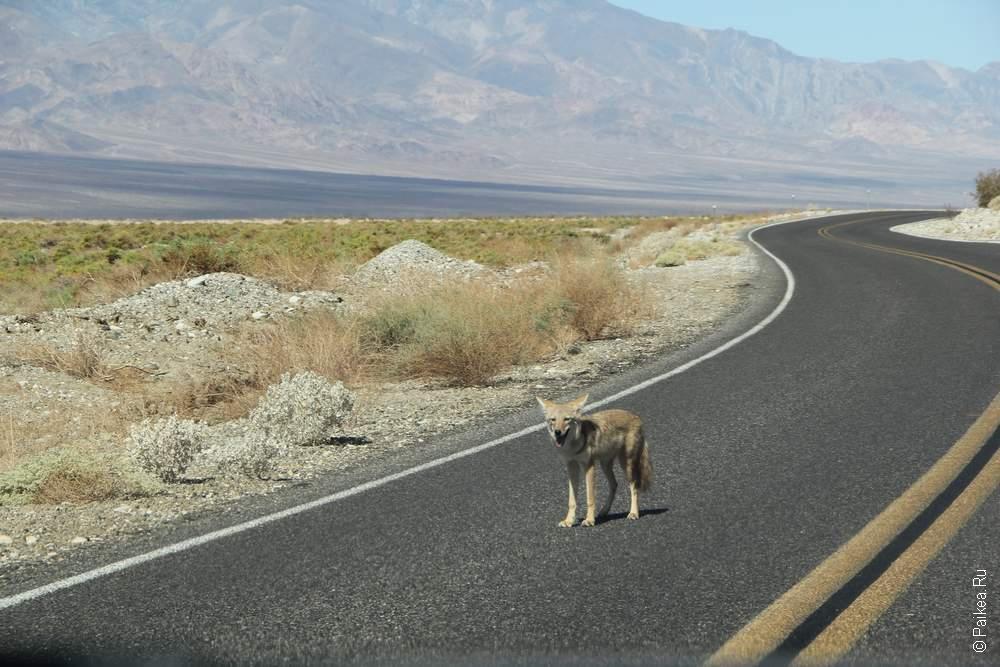 И вдруг мы встретили койота!