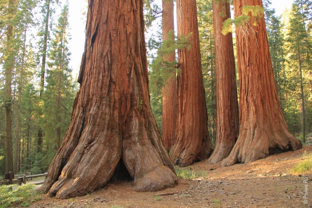 Вот они, калифорнийские секвойи!
