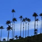 Вот они, пальмы,ради которых я приехала!