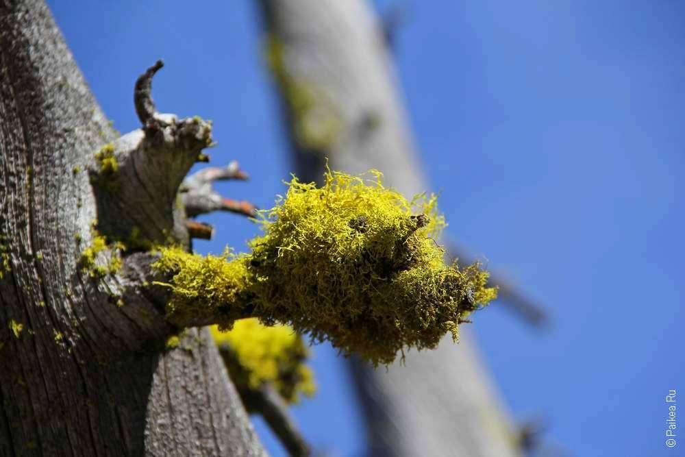 Желтый мох на сухой ветке