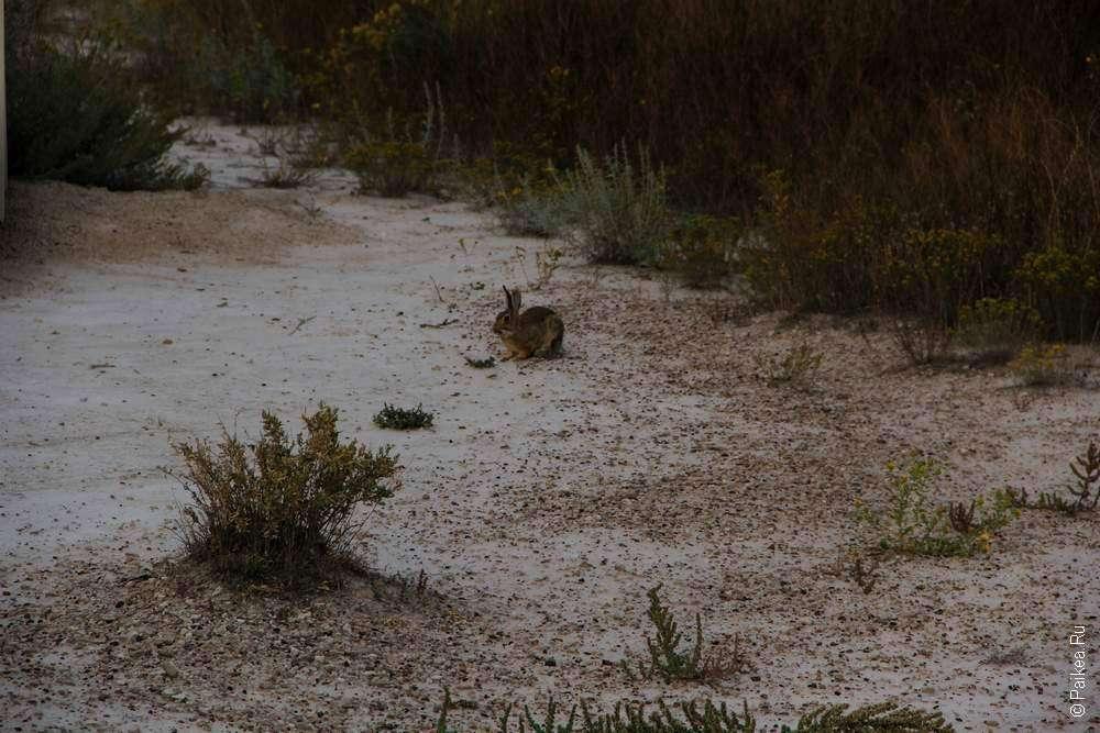 Заяц в национальном парке Бэдлендс