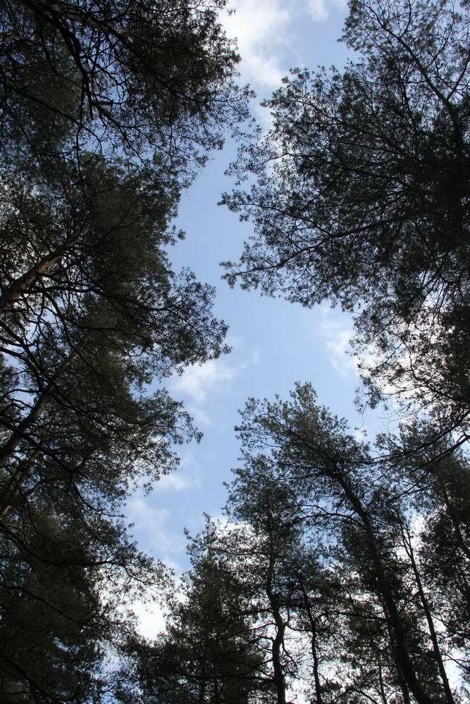 деревья устремились в небо
