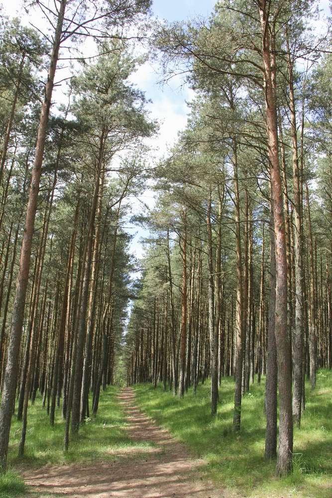 тропинка в сосновом лесу