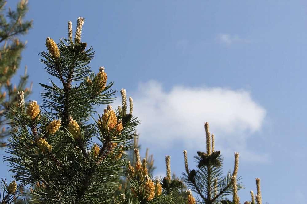 шишки на дереве