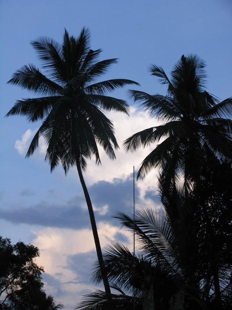 красивые пальмы на острове шри ланка