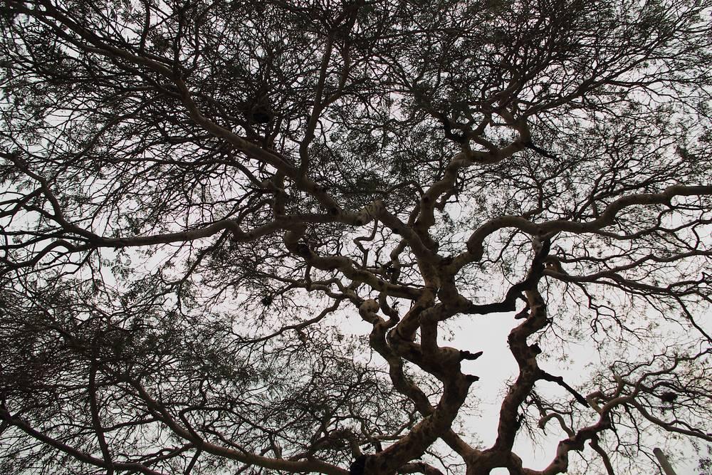 Дерево с широкой кроной