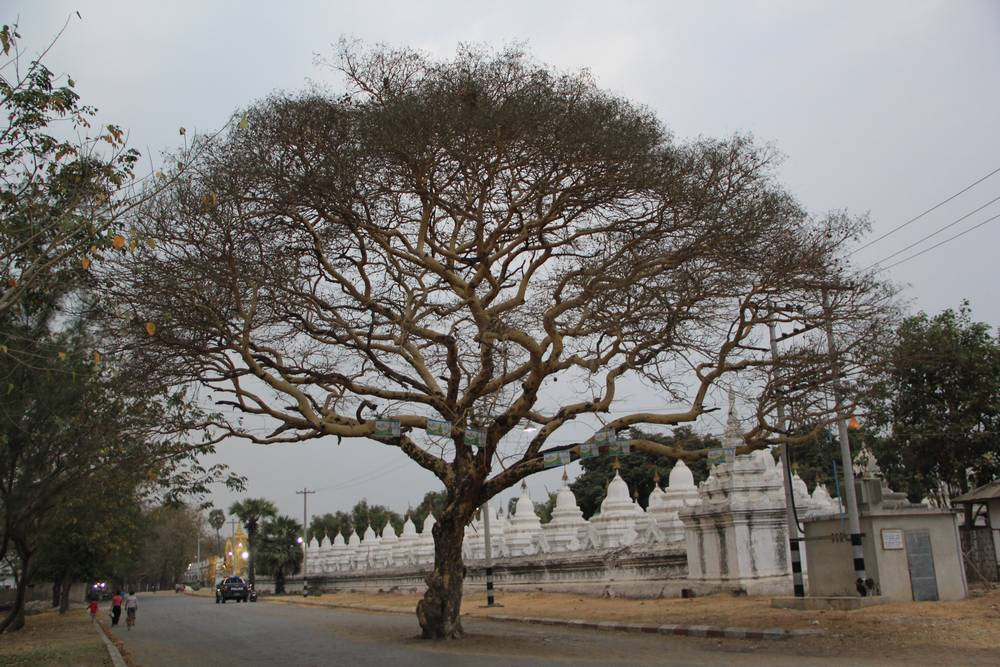 Раскидисое дерево