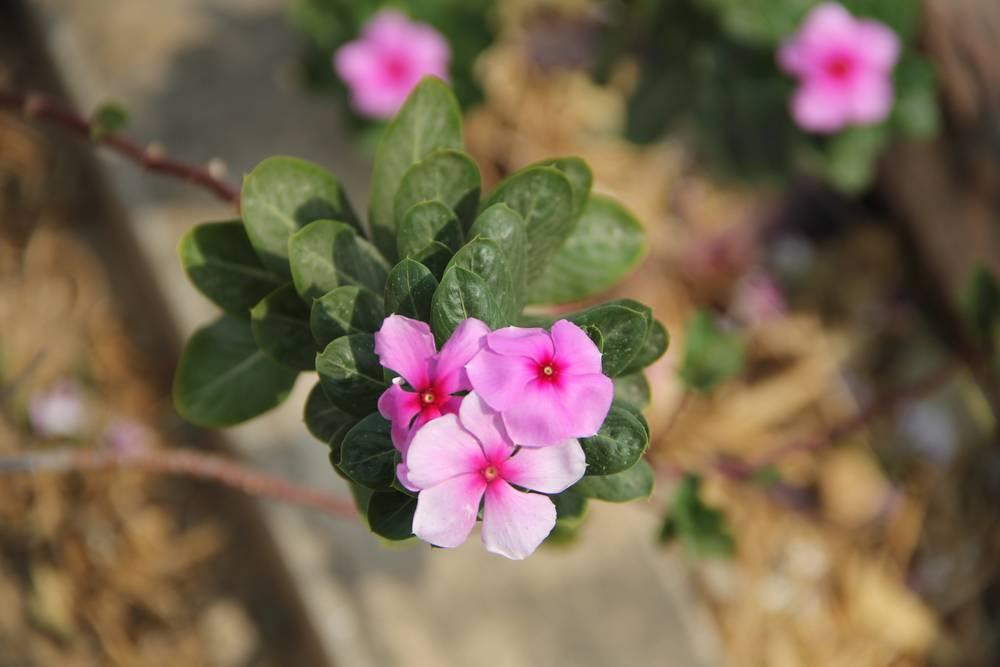 цветы в мьянме