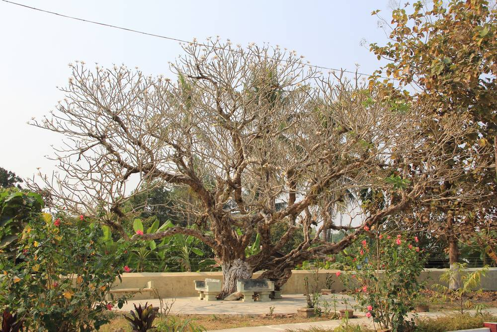 Дерево плюмерия