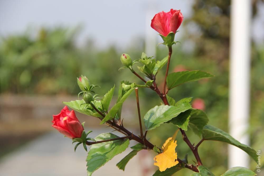 Ветки красной розы