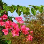 Красные цветы в Камбодже