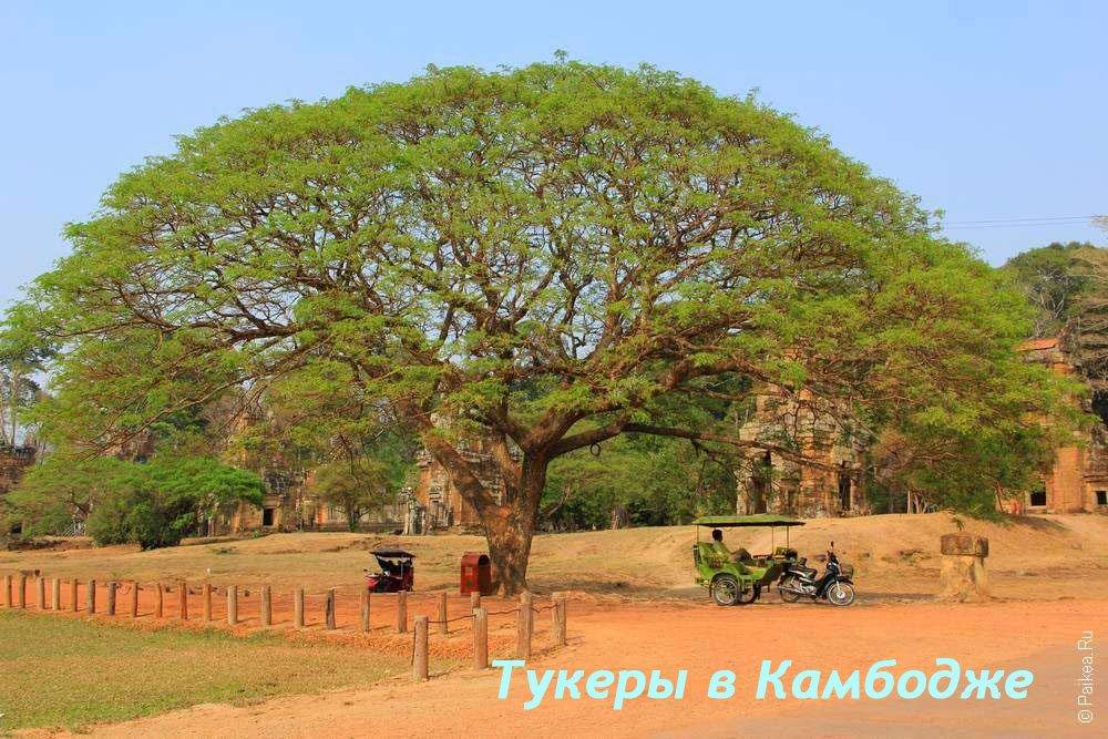 Раскидистое дерево в Ангкоре