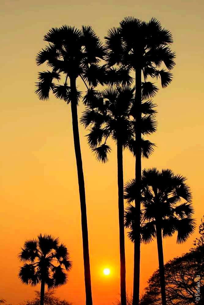 Пальмы в Камбодже