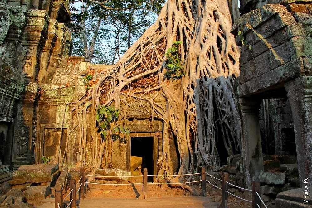 Дерево обвивает большими корнями каменную постройку Та Пром, Камбоджа