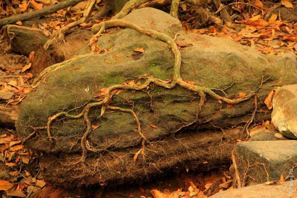 Корни дерева и камень