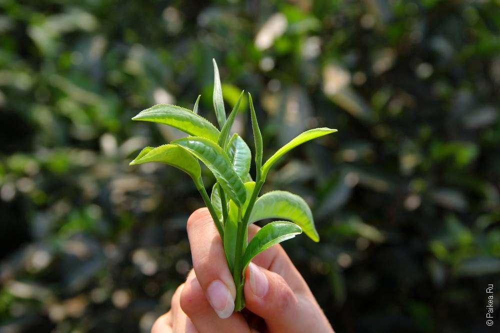 Чайные листья на Плато Болавен