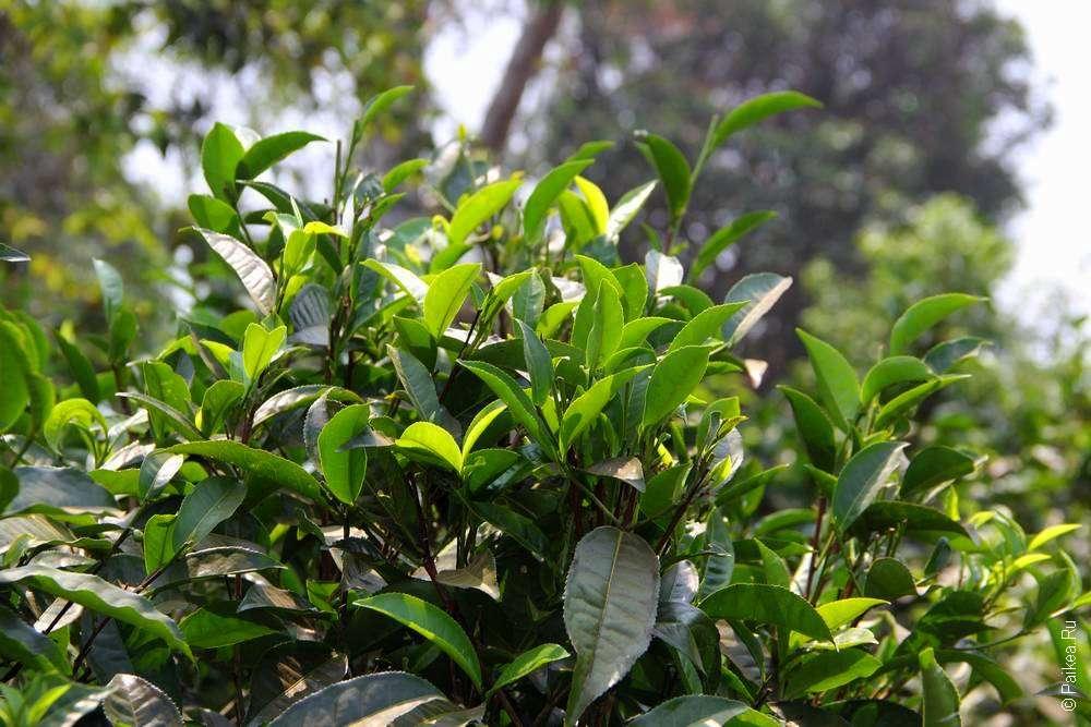 Чайные кусты в Лаосе