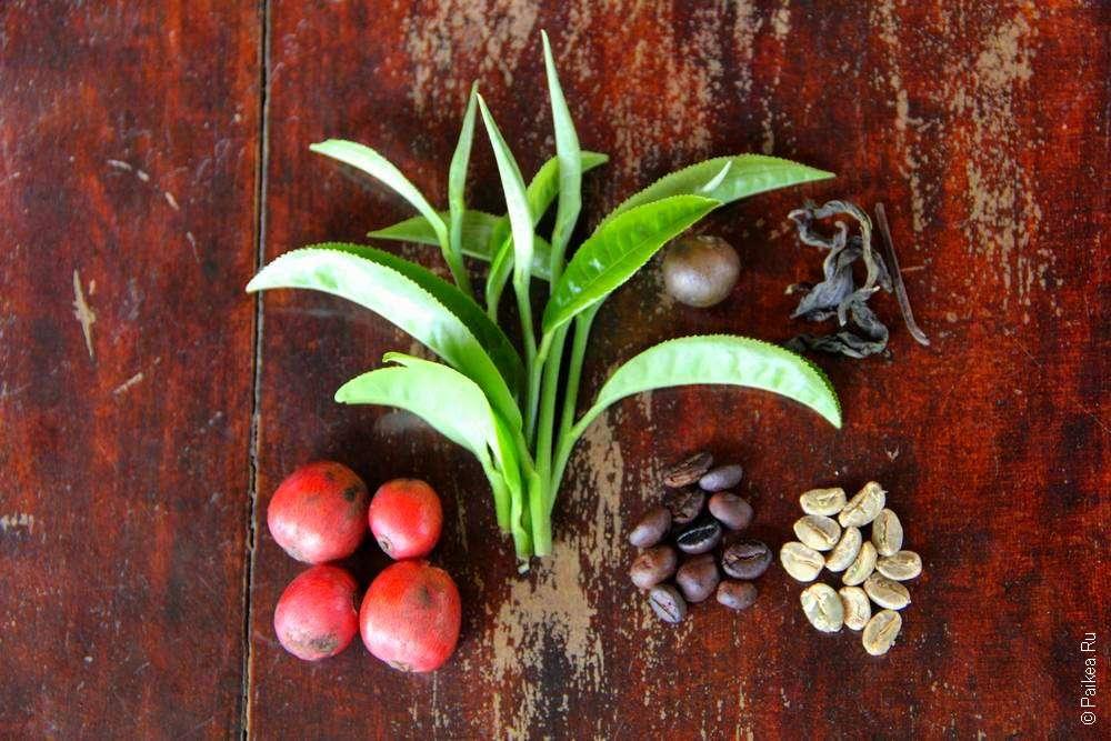 Чай и кофе в Лаосе