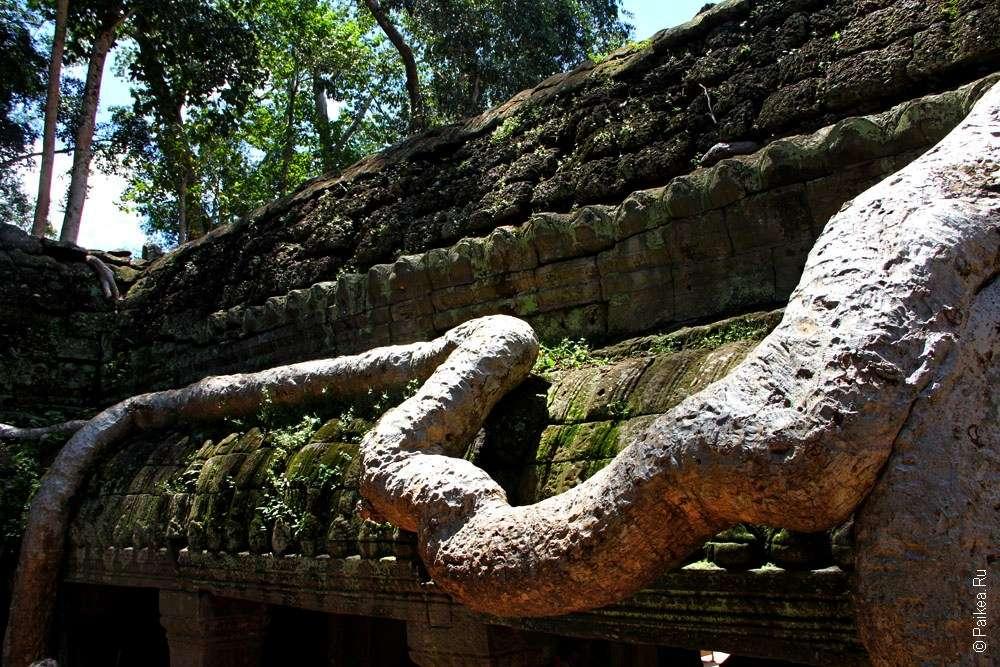 Деревья с больщими корнями, Та Пром, Камбоджа