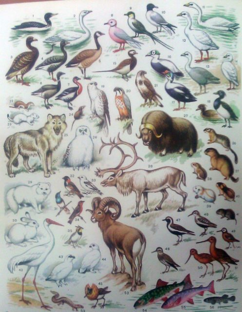 Животные и птицы тундры