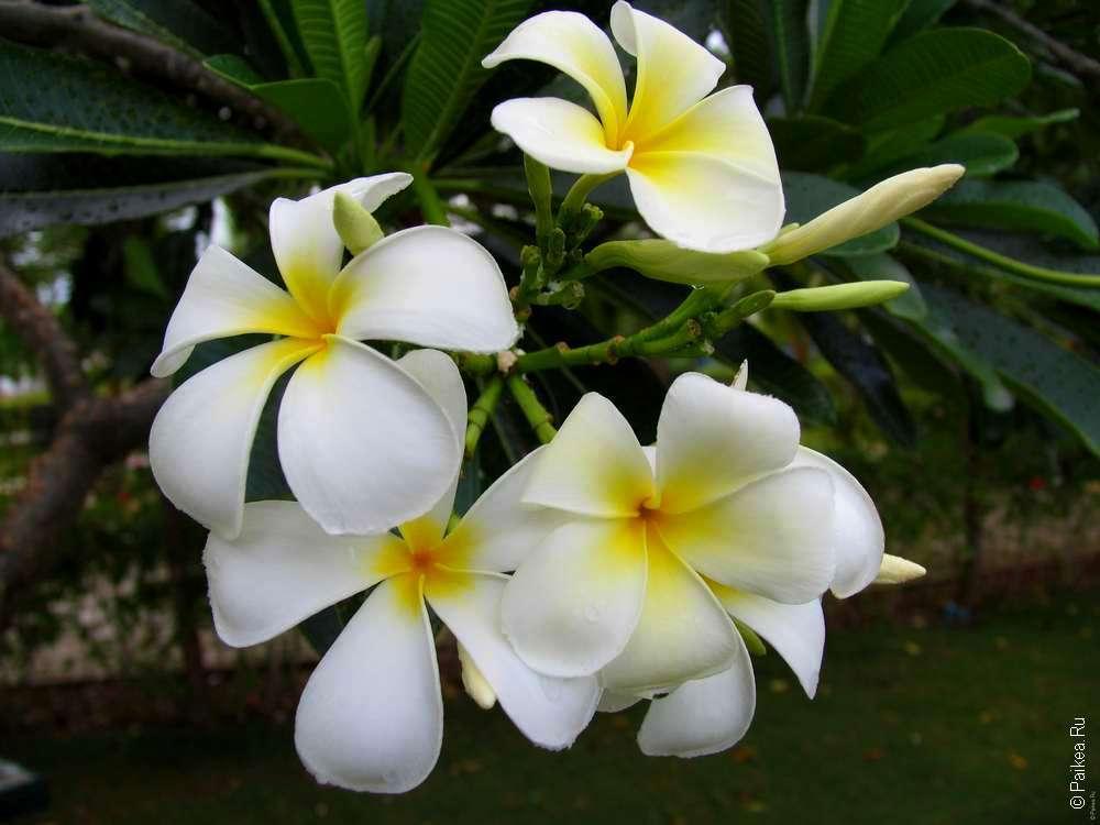 Цветы на Мальдивах