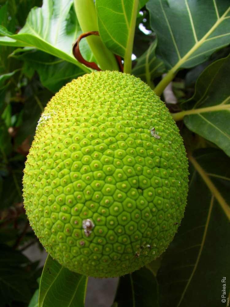 Растения Мальдивских островов