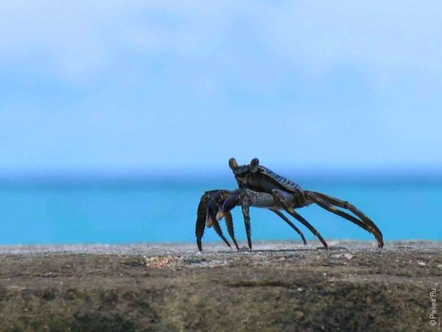 Краб на Мальдивах, Вааву атолл