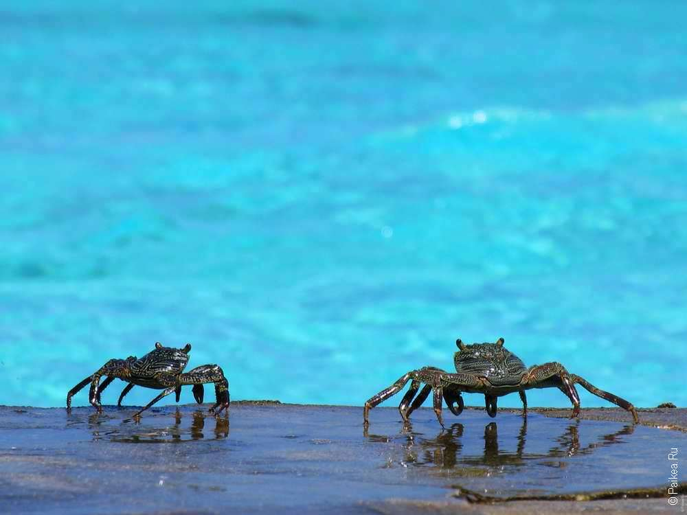 Крабы на Мальдивах
