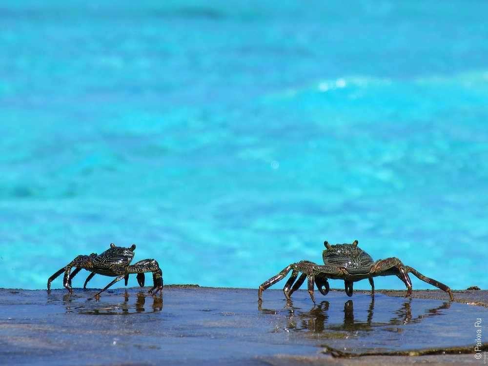 Крабы Мальдивы